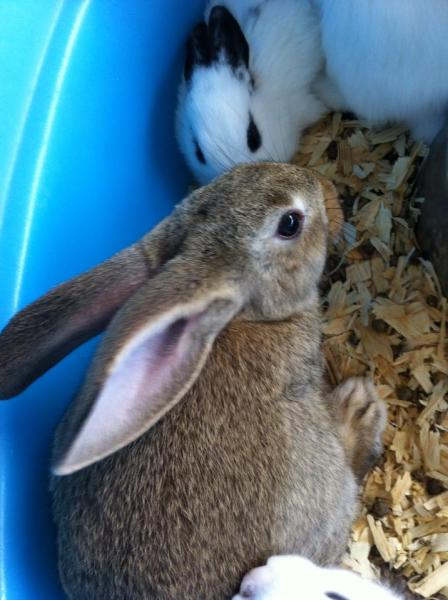This soft brown rabbit and black and white rabbit would make a great pet during the spring season!