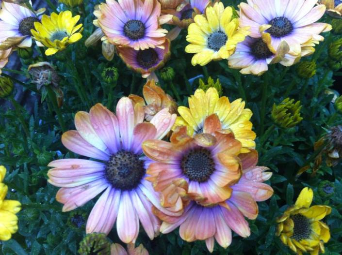 [Image: If you have a fondness for daisies then you will love these multi-colored flowers! ]