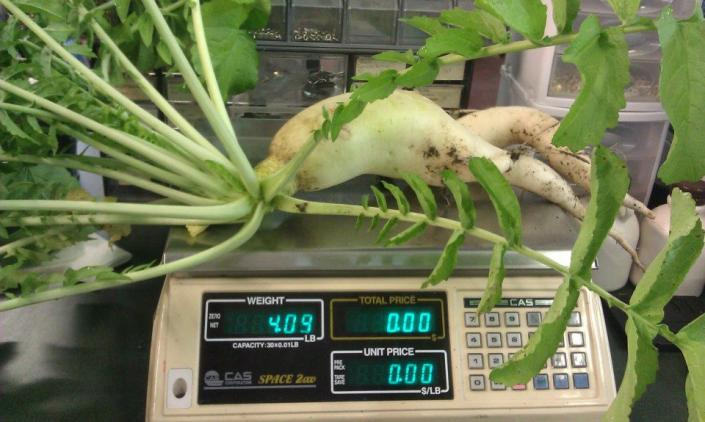 [Image: When you are looking for impressive veggies, we have them! Just look at this hefty radish! ]